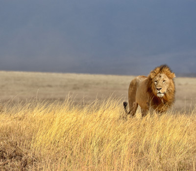 Lonely Lion in the Serengeti National Park (Tanzania)